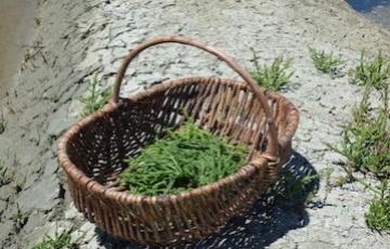 Salicorne verte : l'heure de la récolte !